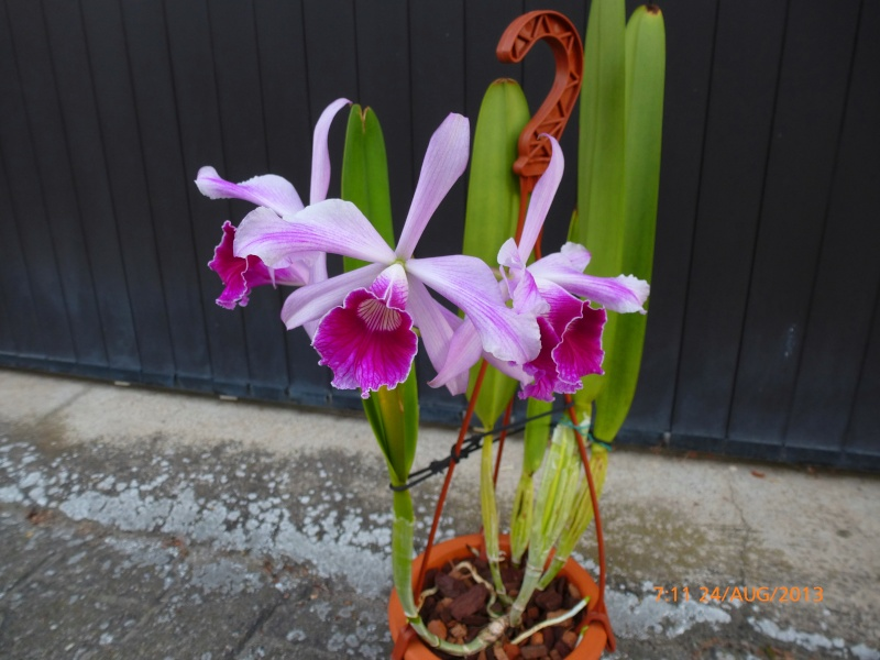 Cattleya purpurata - Seite 4 P1000512