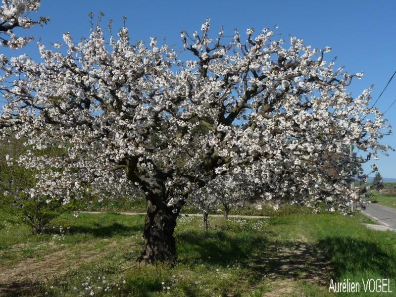 Le printemps, et ces arbres presque tous fleuris P1110336