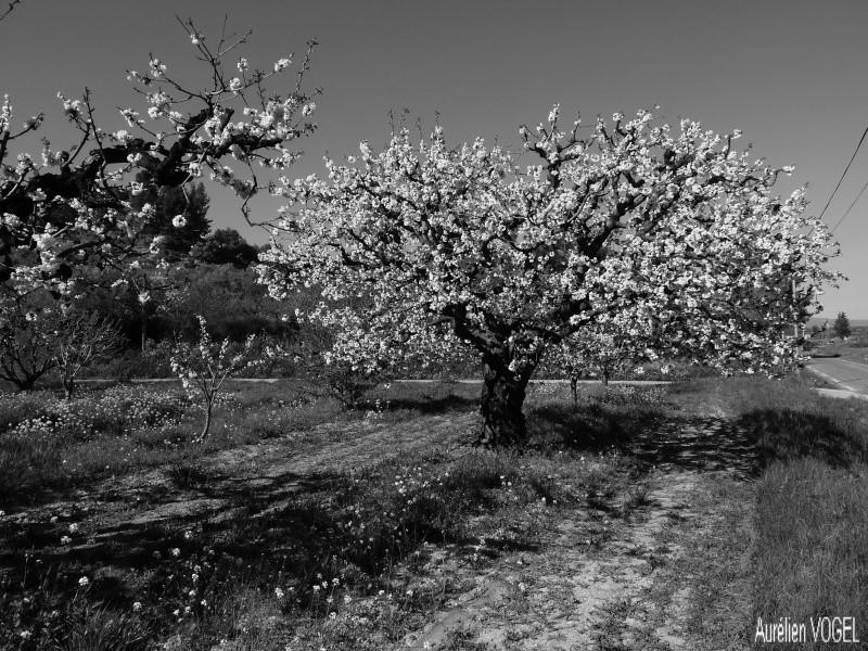 Le printemps, et ces arbres presque tous fleuris P1110337