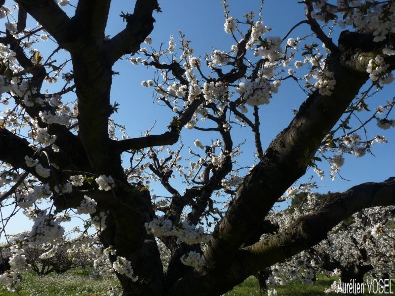 Le printemps, et ces arbres presque tous fleuris P1110338