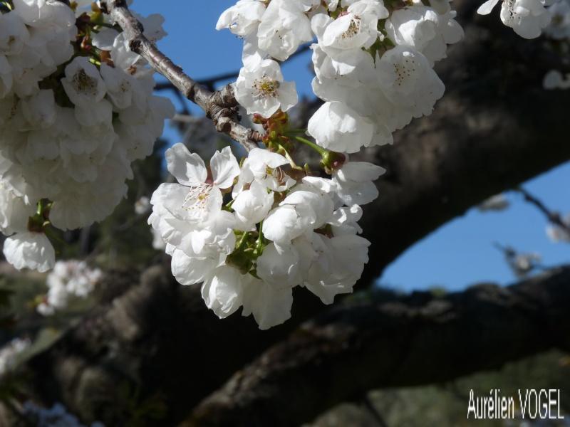 Le printemps, et ces arbres presque tous fleuris P1110339