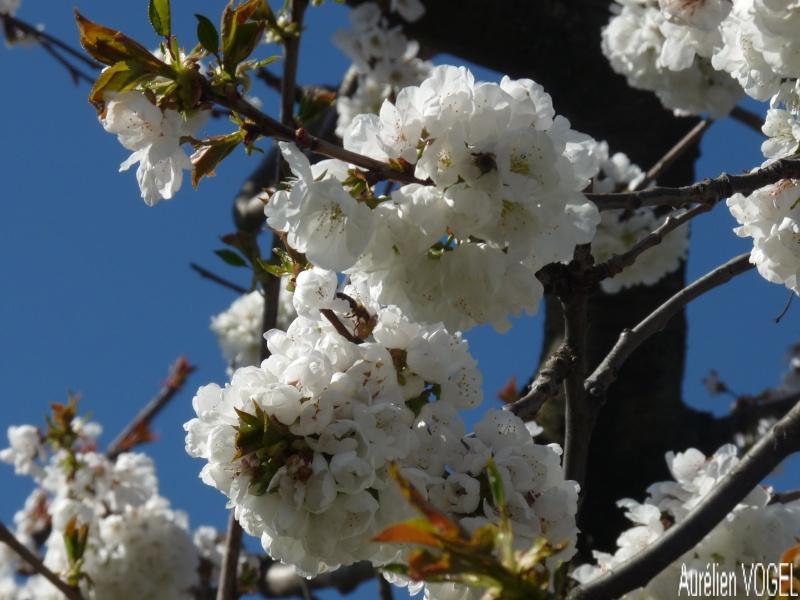 Le printemps, et ces arbres presque tous fleuris P1110340