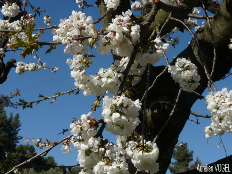 Le printemps, et ces arbres presque tous fleuris P1110341