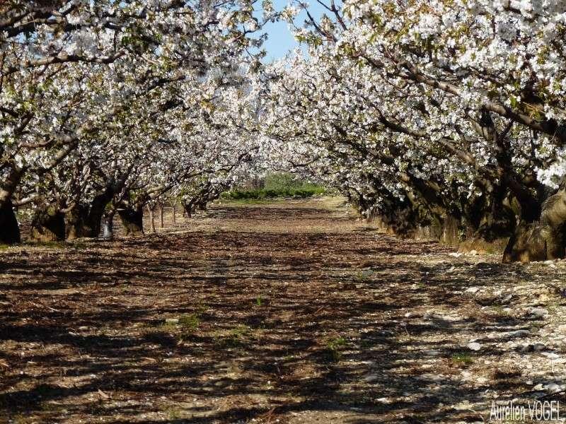 Le printemps, et ces arbres presque tous fleuris P1110410