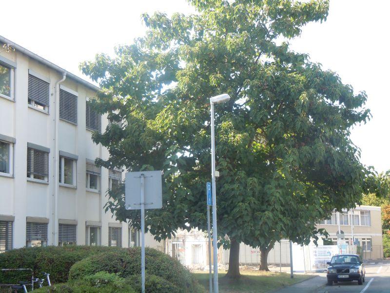 Blauglockenbaum - Paulownia tomentosa Dscn1110