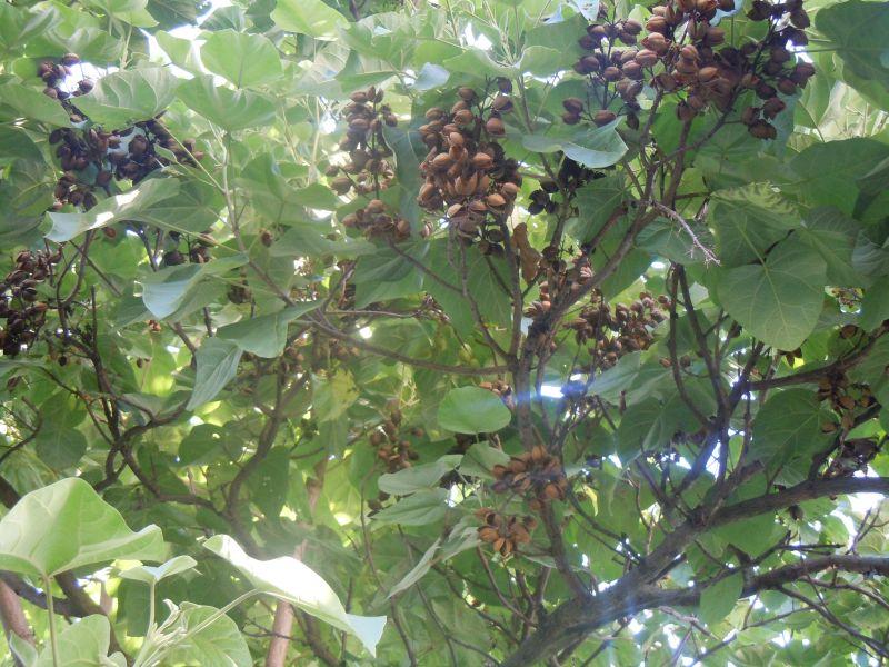 Blauglockenbaum - Paulownia tomentosa Dscn1111