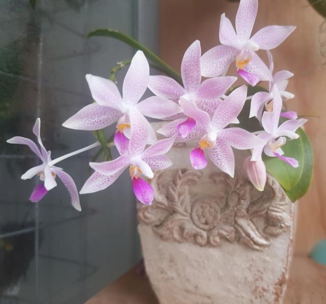 Phalaenopsis speciosa x equestris (Hiroshima Tetratris) 20190714