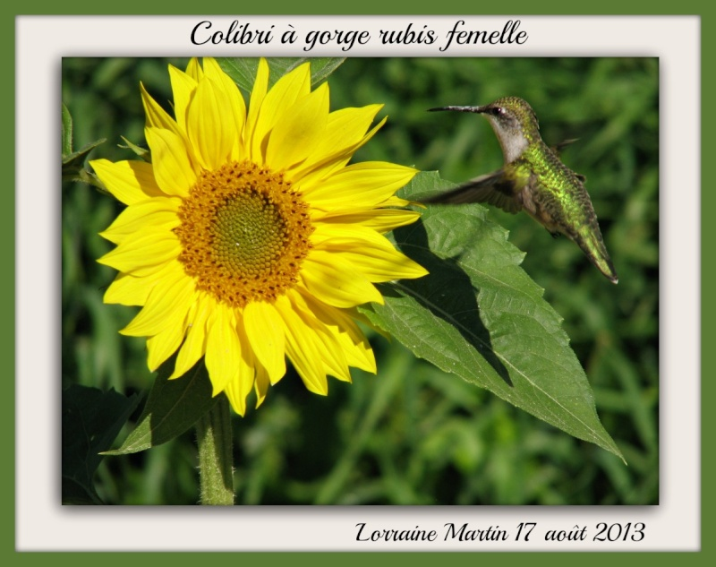 Colibri sur Tournesol fleur (lolo heureuse) Tourne10