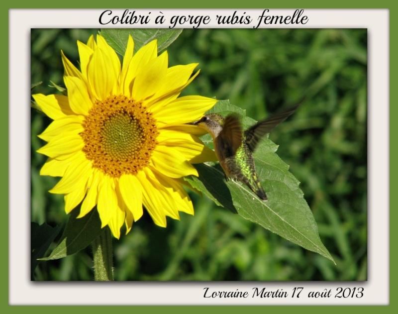 Colibri sur Tournesol fleur (lolo heureuse) Tourne11