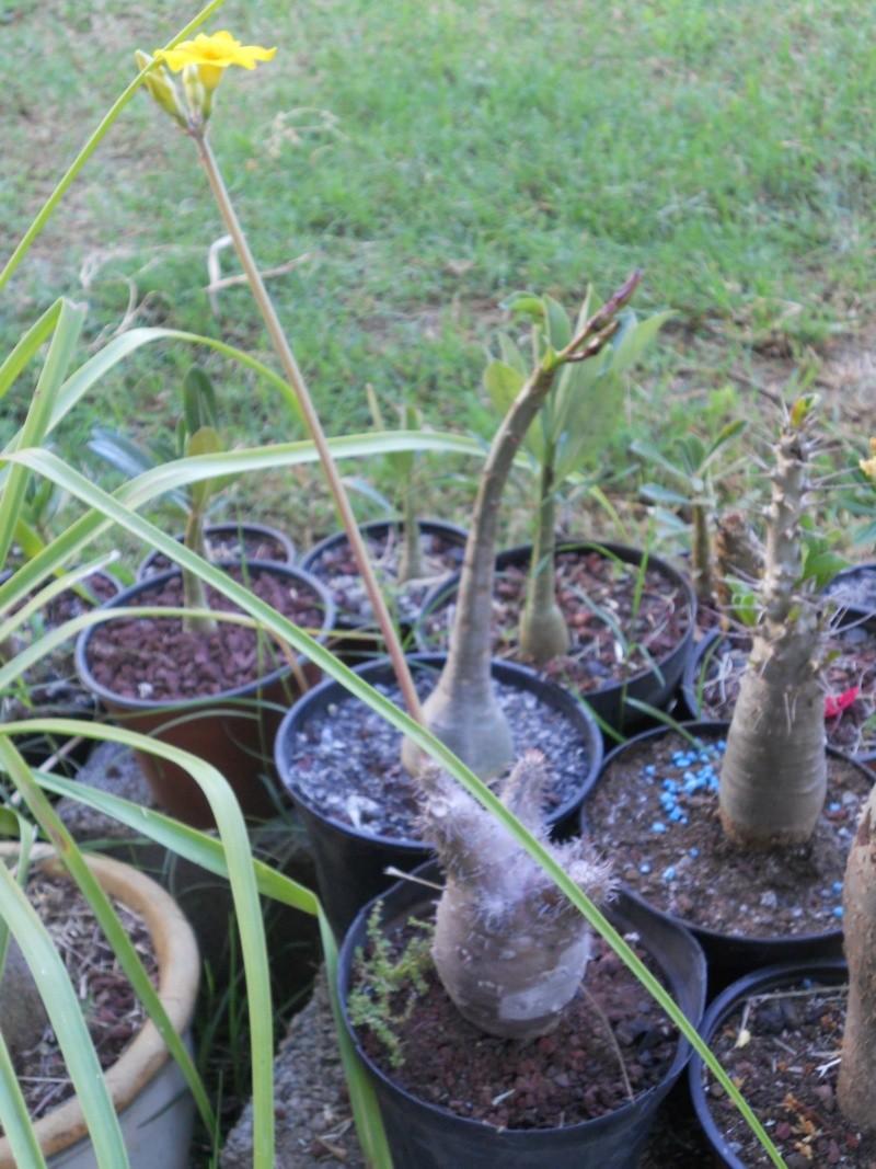 Adenium et Pachypodium : enfin des floraisons - Page 3 Dscn1921