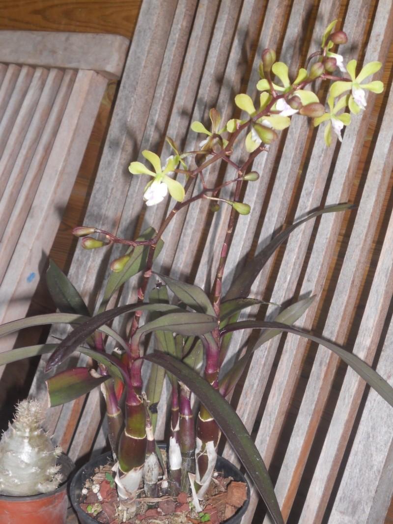 orchidées au jardin de Laurent - La Réunion Dscn2034