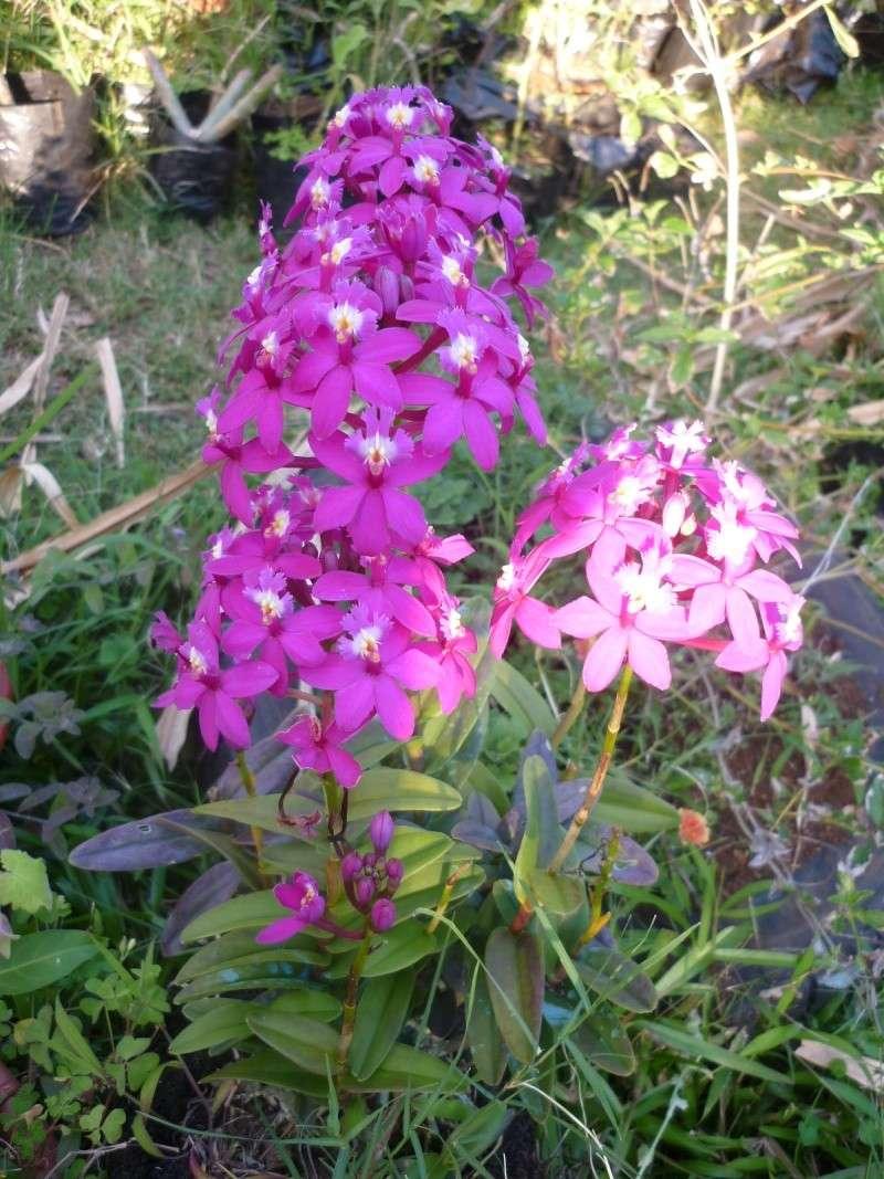orchidées au jardin de Laurent - La Réunion P1200610