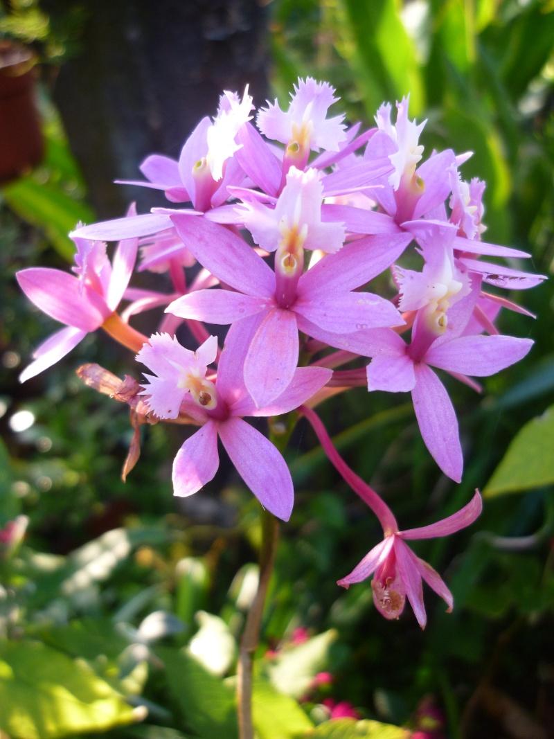 orchidées au jardin de Laurent - La Réunion P1200611