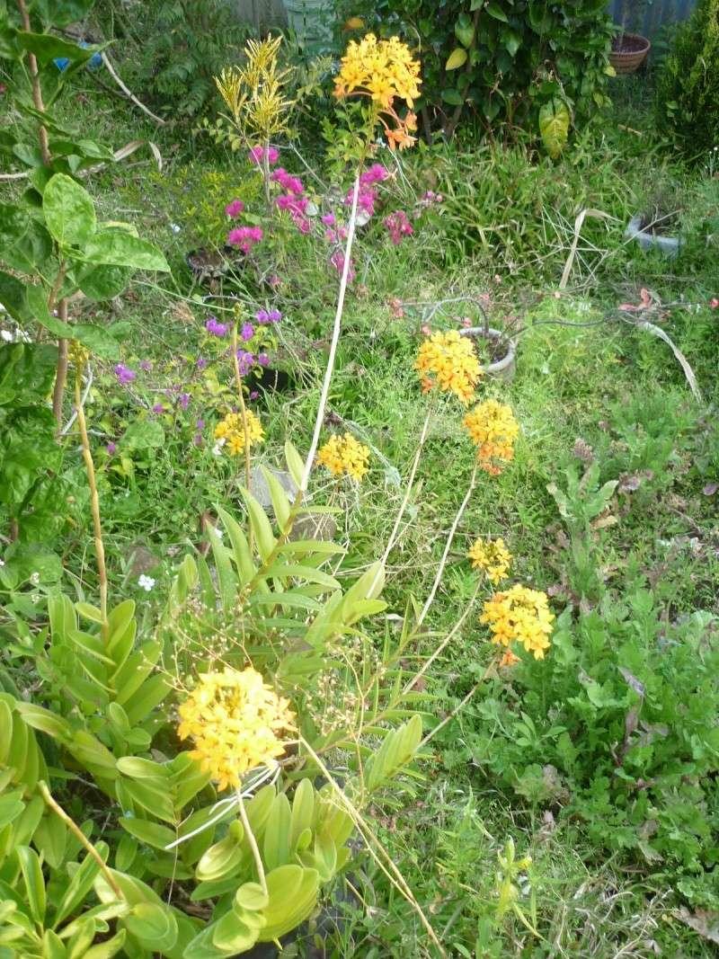 orchidées au jardin de Laurent - La Réunion P1200612