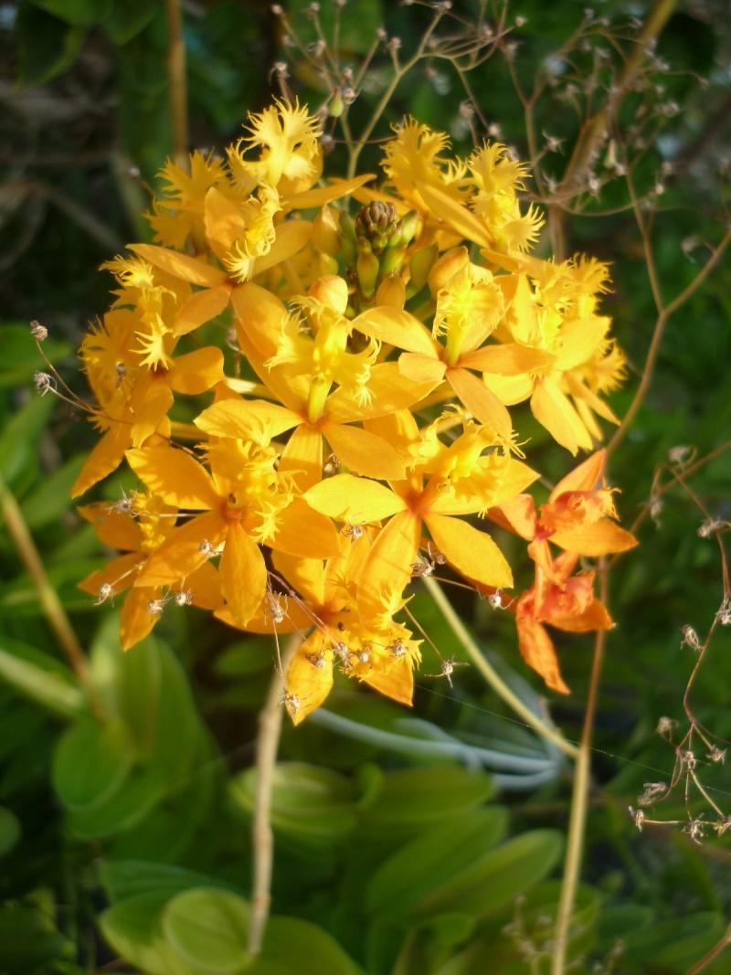 orchidées au jardin de Laurent - La Réunion P1200613