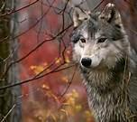 Femme qui court avec les loups, de Clarissa Pinkola Estés (livre) Zzzzzc10