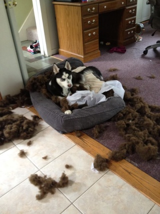 What's the worst your husky has done?? 42023910