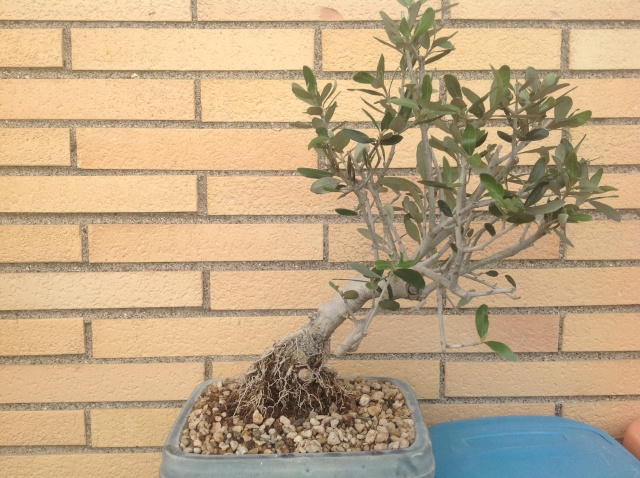 potatura olivo 00113