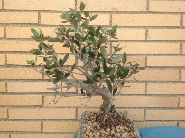 potatura olivo 00212