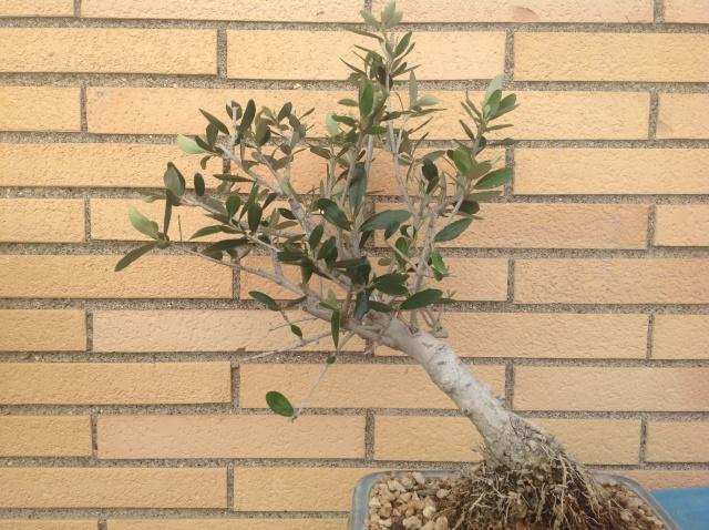 potatura olivo 00311
