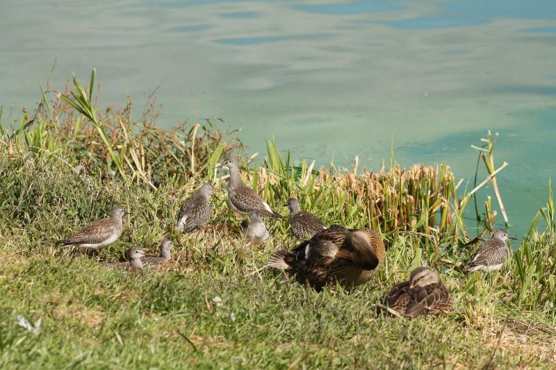 Petits chevaliers (Baie du Febvre) Img_5811