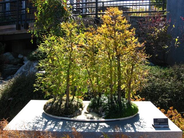 American Bonsai at the NC Arboretum Baldcy11