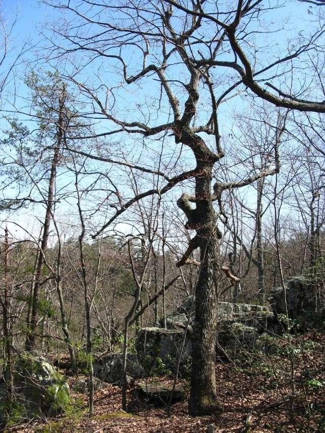 American Bonsai at the NC Arboretum Chestn11