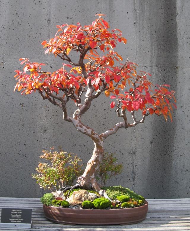 American Bonsai at the NC Arboretum Chines10