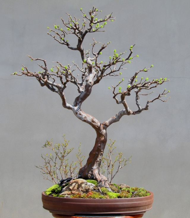 American Bonsai at the NC Arboretum Chines11