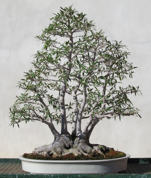 American Bonsai at the NC Arboretum March_13
