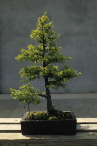 American Bonsai at the NC Arboretum Tamara13