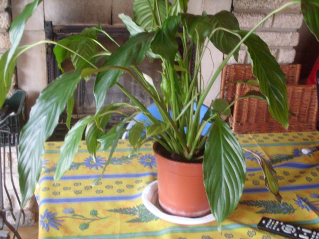 spathiphyllum ....  S7302719
