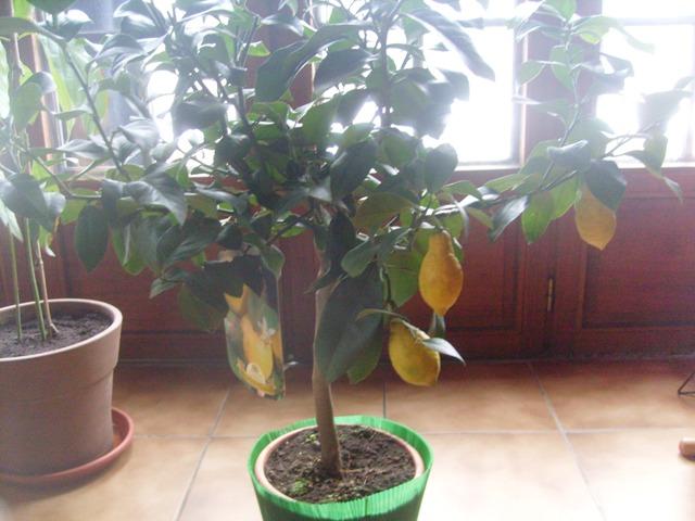 citronnier .... mon beau citronnier !!! S7302729
