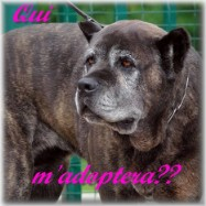 forum dédié à l'adoption des cane corso  Adopte10