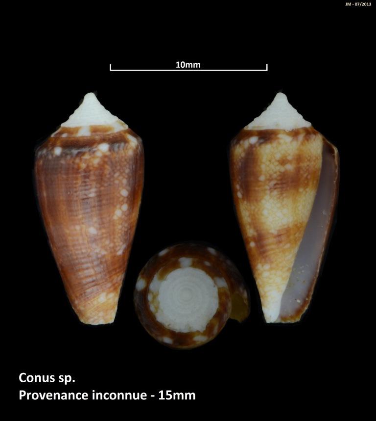 Conus (Cylinder) barbieri    Raybaudi, 1995 M2_t1b23
