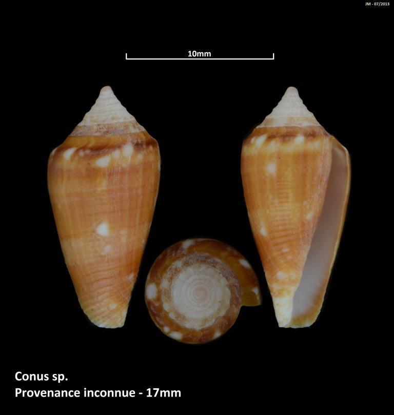 Conus (Cylinder) barbieri    Raybaudi, 1995 M2_t1b24