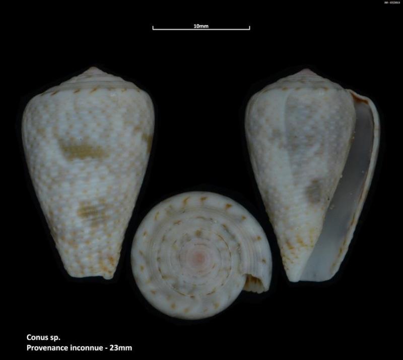 Pionoconus catus (Hwass in Bruguière, 1792)  M2_t1b30