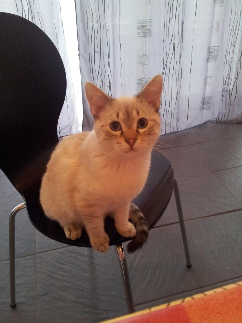 FACIL (chaton mâle typé siamois) 20130212