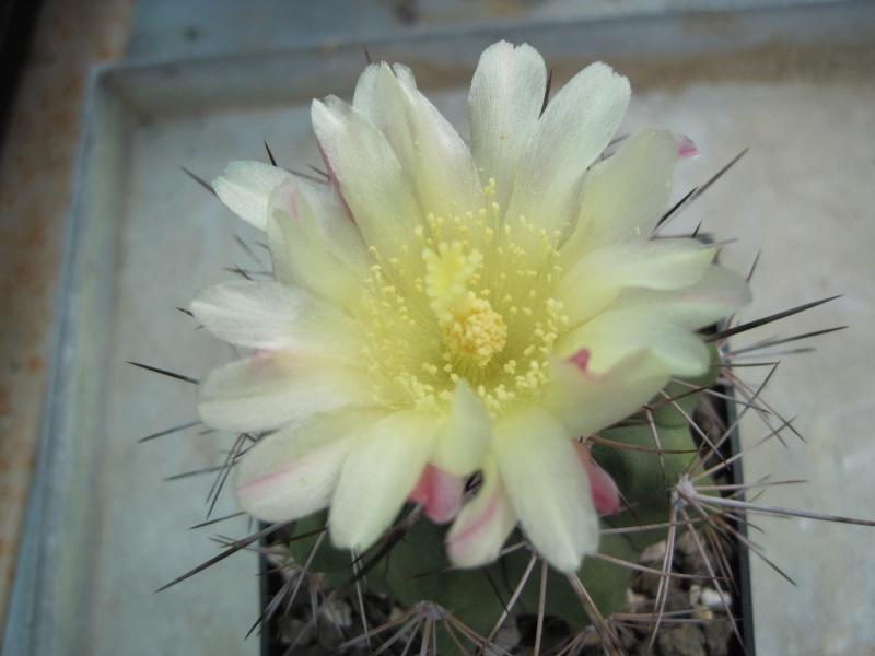 Copiapoa grandiflora Img_3919