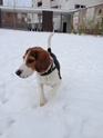 Hoggy, Beagle Mâle 7mois et demi (Lille, 59) Photo_11