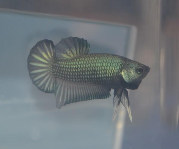 Male pkhm black blue dragon X femelle hm red dragon  Img_2410