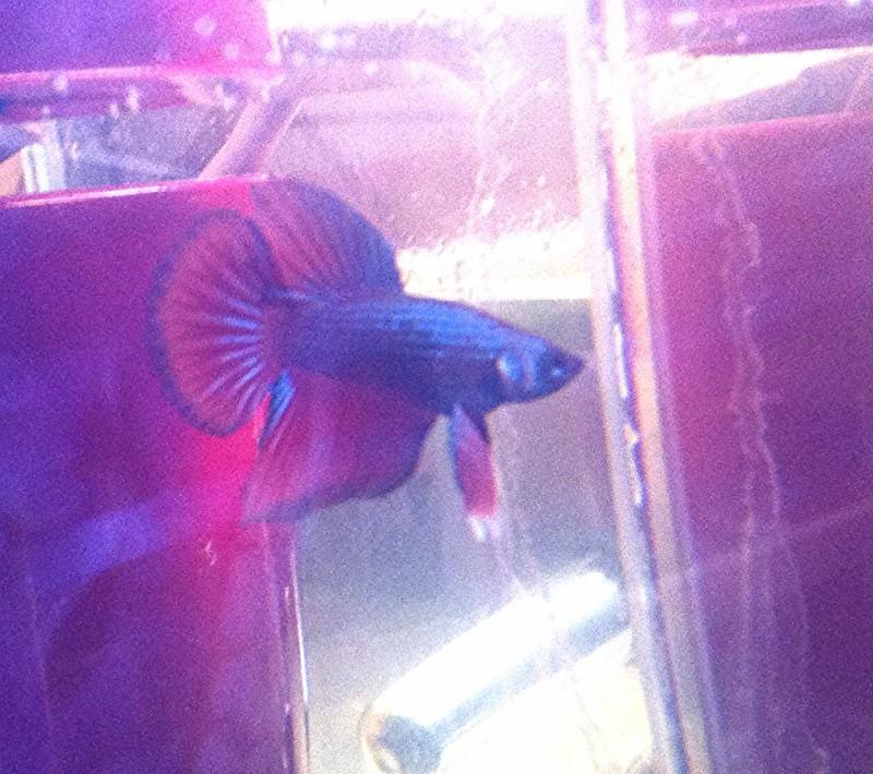 Male pkhm black blue dragon X femelle hm red dragon  Img_3811