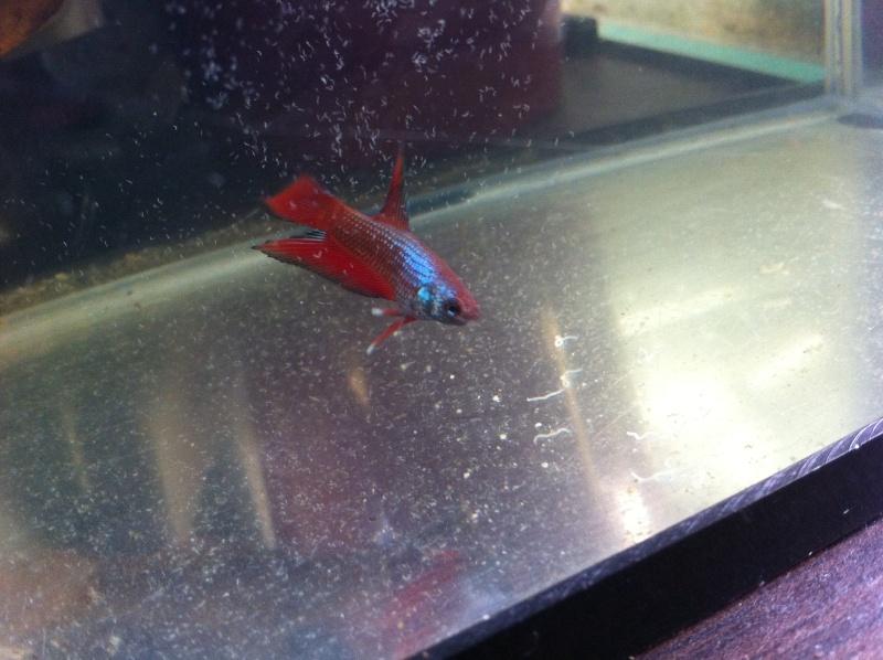 Male pkhm black blue dragon X femelle hm red dragon  Petit_10