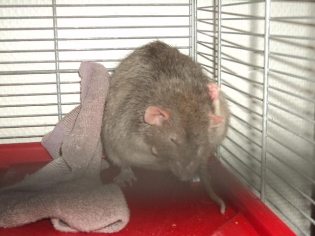Mes nouveaux rats Dsc01820