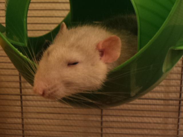 Mes nouveaux rats Dsc01821