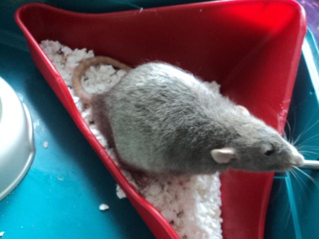 Mes nouveaux rats Dsc01924