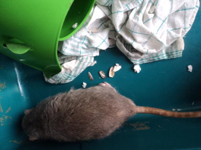 Mes nouveaux rats Dsc01925