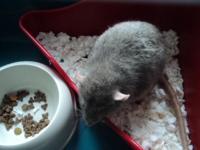 Mes nouveaux rats Dsc01926