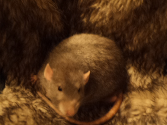 Mes nouveaux rats Dsc01927