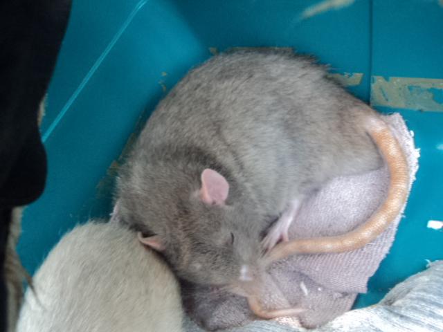 Mes nouveaux rats Dsc01928